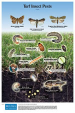 Turf Insect Pests